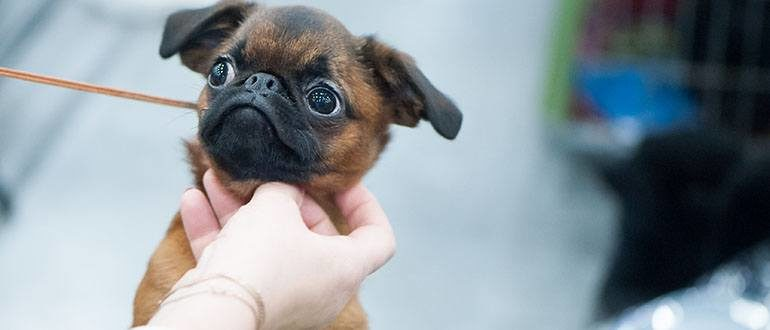 Собаки породы пти-брабансон - описание, характер