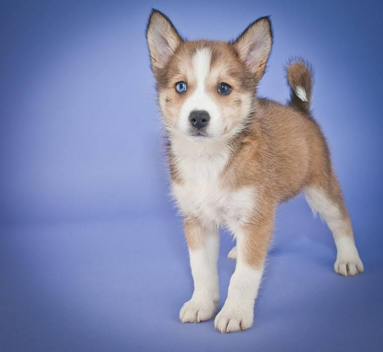 Описание собак породы помски