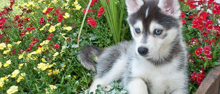 Помски порода собак описание, характер, болезни, уход