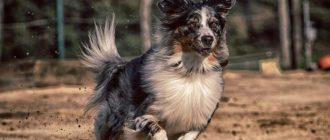 Пробежка с собакой - как павильно бегать с собакой и что для этого нужно