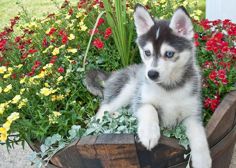 Собаки породы Помски описание, характер, болезни, уход